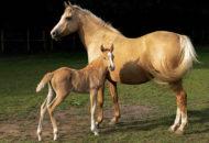 kůň a hříbě