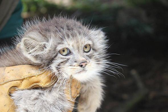 I v Brně mají koťátka – manula. | Kredit: © ZOO Brno, Facebook