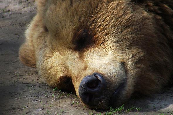 medvěd hnědý spí