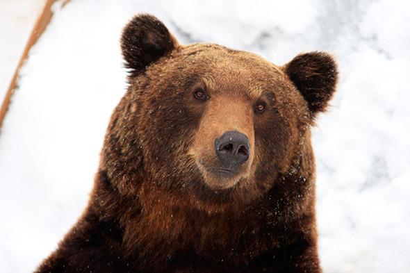 medvěd v zimě