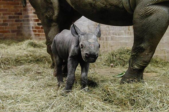 mládě nosorožce ve Dvoře Králové