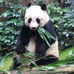 Zemřela nejstarší panda chovaná v lidské péči