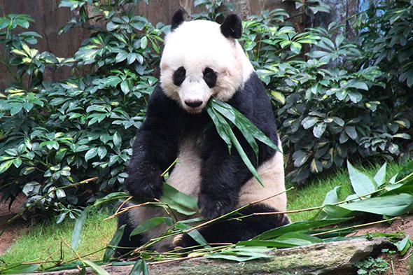 panda velká Jia Jia