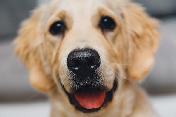 pes čumák