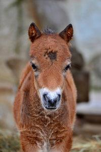 pony shetlandský Liberec