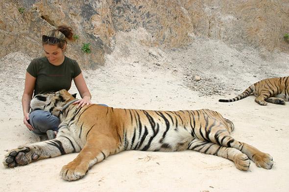 ochočený tygr