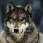 """Čím se živí """"naši"""" vlci?"""
