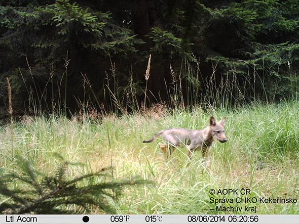 vlk zachycen fotopastí