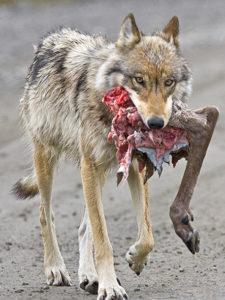 vlk s kořistí