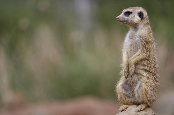 zoo Jihlava surikata