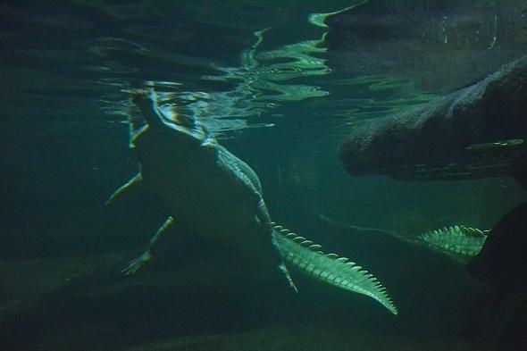 gaviál indický