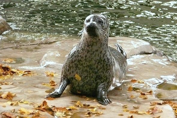tuleň obecný Mary