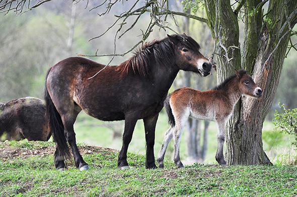divoký kůň Milovice
