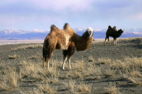 divoký velbloud