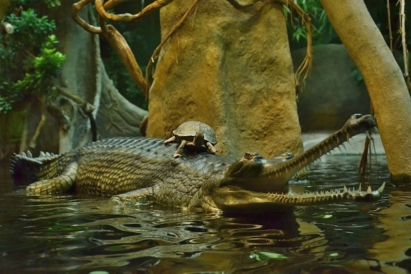 gaviál indický a želva
