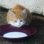 Může pít kočka mléko?