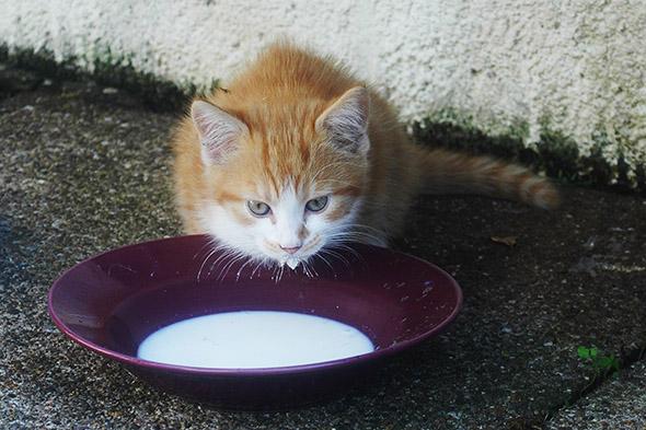 kočka a mléko
