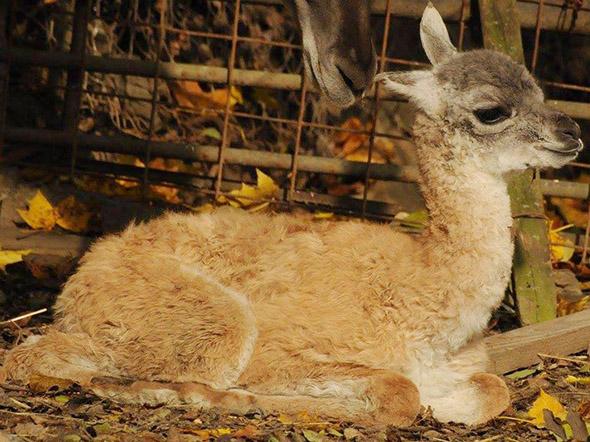 lama guanako mládě Jihlava