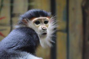langur duk v Zoo Chleby