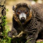 Novinky v zoo: lemuři i vzácný daman