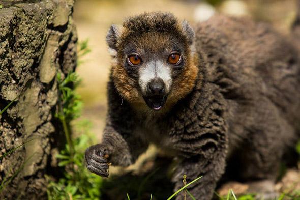 lemur mongoz Ostrava