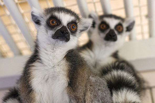 lemur kata samičky Praha