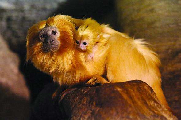 lvíček zlatý mládě Jihlava