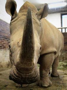 nosorožec tuponosý jižní