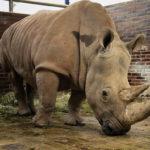 Zoo Dvůr Králové získala novou samici nosorožce