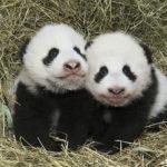 Pandí dvojčata z Vídně už mají jména
