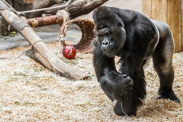 gorila nížinná Richard Praha