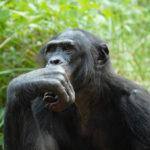 Stárnoucí šimpanzi bonobo trpí vetchozrakostí
