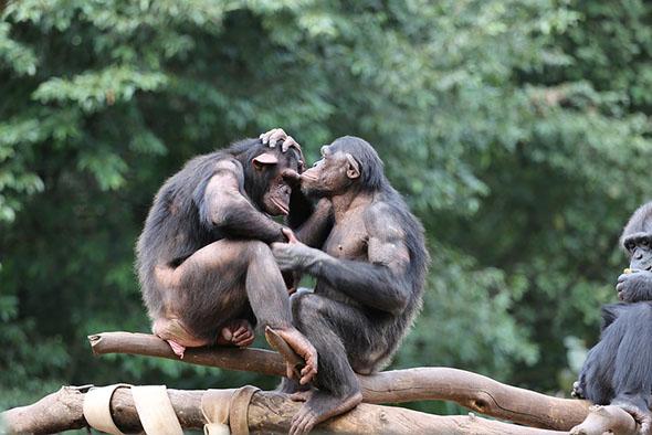 šimpanzi bonobo