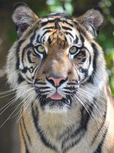 tygr sumaterský Jihlava
