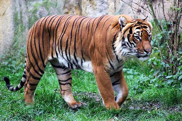 tygr malajský Praha