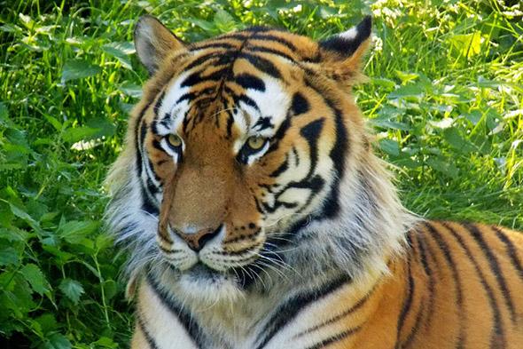 tygr ussurijský Hodonín
