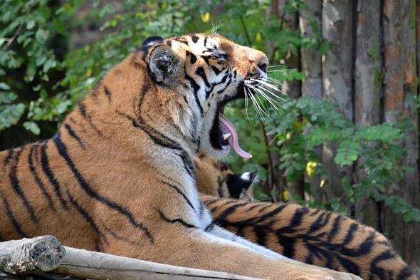tygr ussurijský Zlín