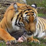 Po stopách tygrů: jihoasijské šelmy