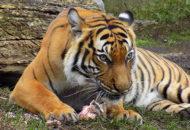 tygr malajský Ústí