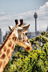 žirafa a město