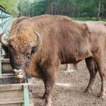 Samec zubra doplnil chovné stádo v Zoo Tábor