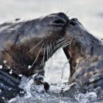 Tajný život tuleňů kuželozubých