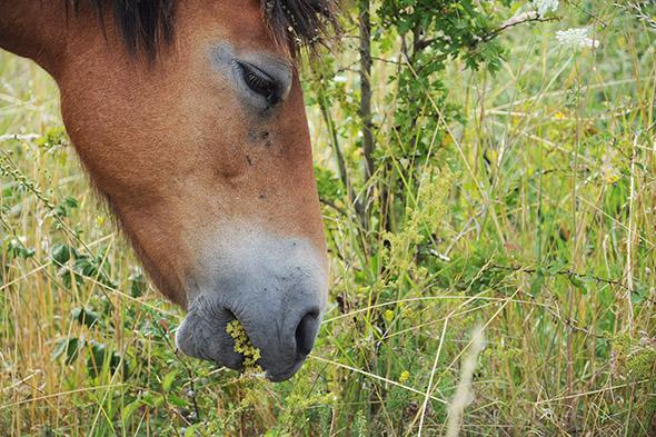 divoký kůň se pase