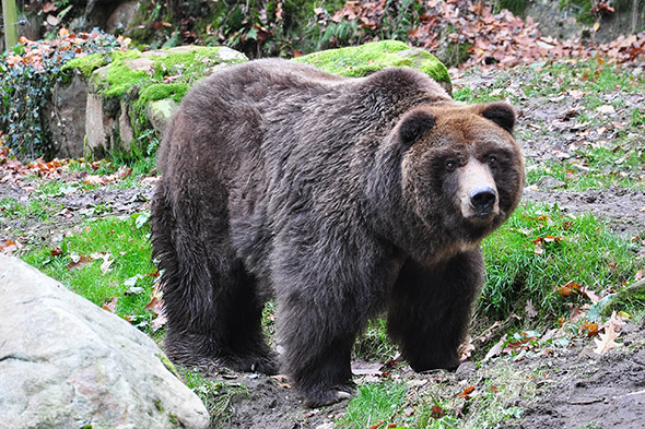 medvěd grizzly zoo Děčín