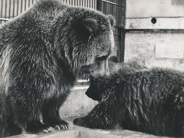 medvědi grizzly zoo Děčín