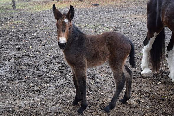 Mládě muly ve Vyškově. Doufejme, že tohoto drobečka budeme už brzy moci spatřit. | Kredit: © ZOO PARK Vyškov