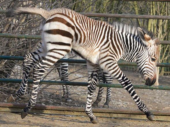 zebra Hartmannova zoo Ústí