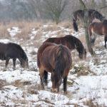 divocí koně v zimě Milovice