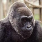 Zemřela Colo, nejstarší gorila v péči člověka