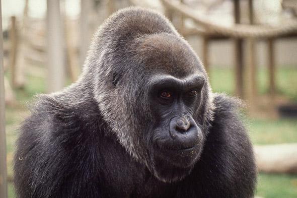 gorila Colo